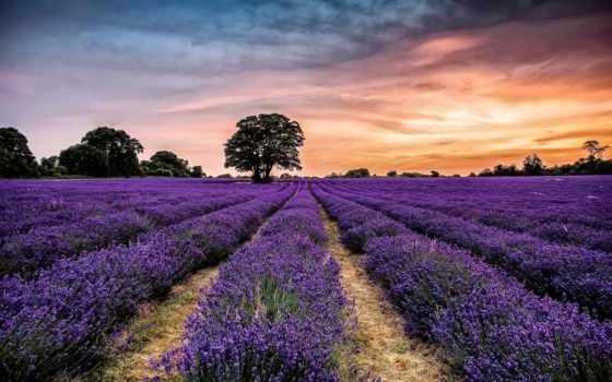 lavender, картинка, деревя