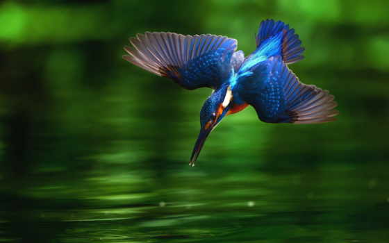 kingfisher, images, free,