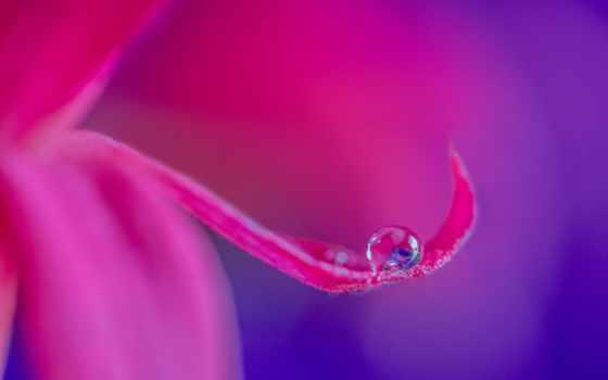 лепестки, картинка, purple, розовый, цветы, zhivotnye,