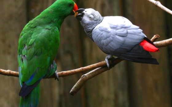 african, grey, попугай, parrots, об, pinterest, eclectus, more, images, birds,
