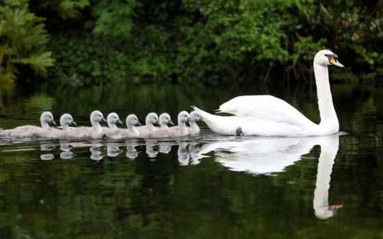 лебедь, cygnus, птицы, лебеди, water, птенцы, лебедята,