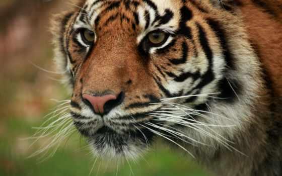 art, vk, tiger