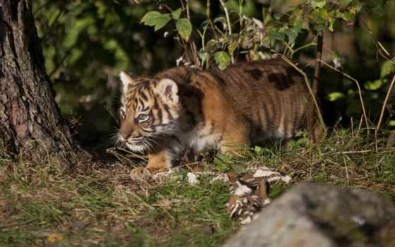 тигр, глаза, pictures