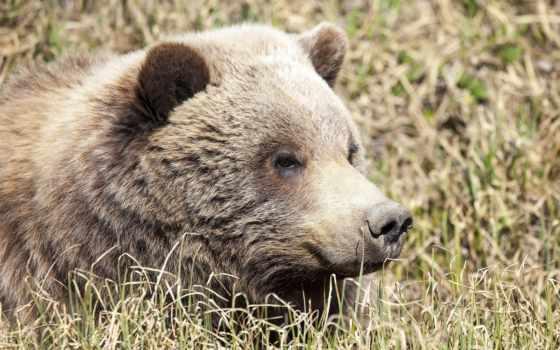 медведь, desktop, animal