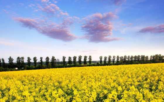 поле, mustard, рапс