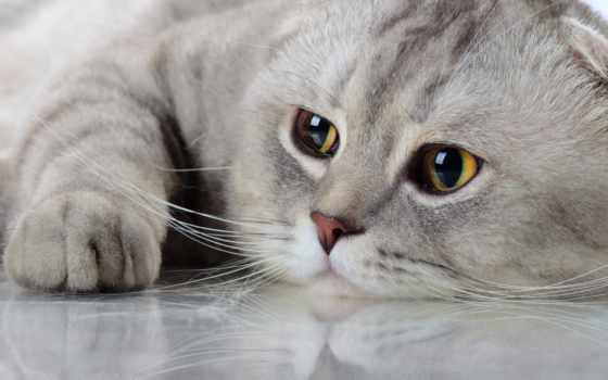 scottish, фолд, stock, кот, images, adult, серый, порода, photos, gris,