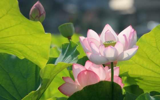lotus, макро, розовый, цветы, бутон, бесплатные, кувшинка, листва,