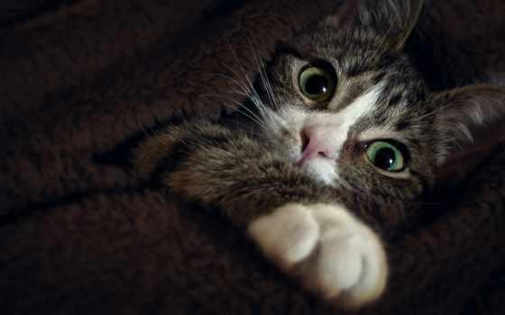 кот, глаза, лапка, cats
