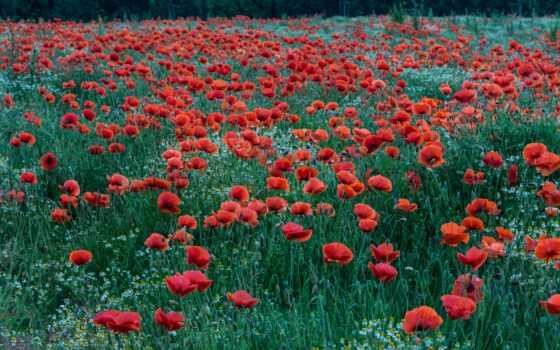 poppy, cover, цветы, id, earth, papaver, free, поле