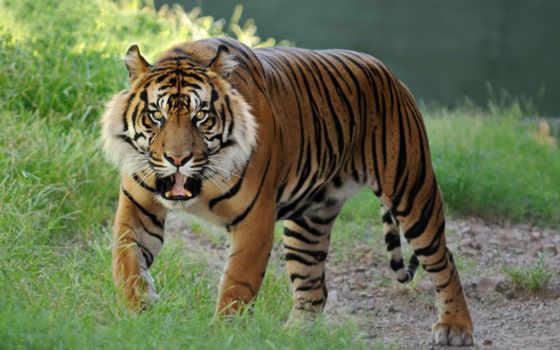 тигр, тигры Фон № 19352 разрешение 1680x1050