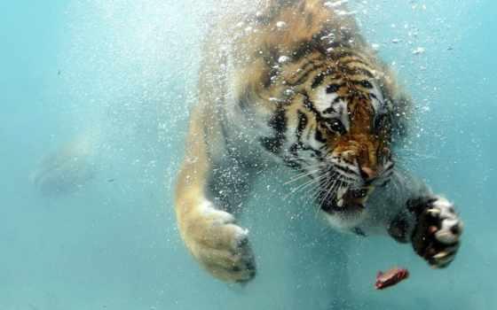 underwater, tiger