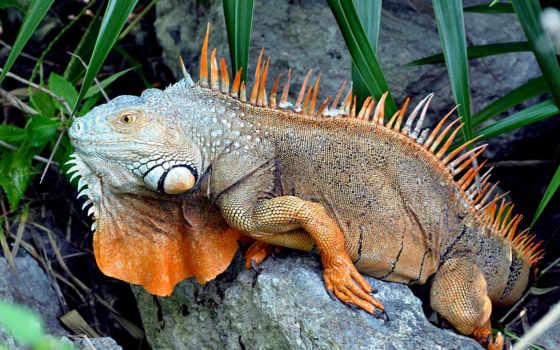 iguana, была, обыкновенная