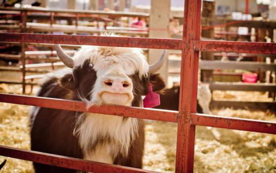 cow, трава,