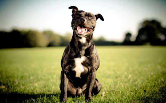 бультерьер, стаффордширский, bull, бультерьер, staffordshire, собака, улыбка, black, щенок, увеличить,