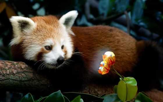 панда, кот, красная, малая, fulgens, ailurus, огненная, lat, окрашенная, огонь,