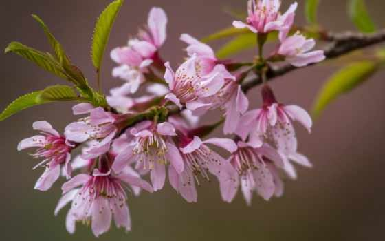 cvety, Сакура,