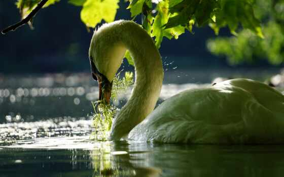 лебедь, озеро, white, птица, зелёный, попугай, семья, little, youtube, животные, молодой