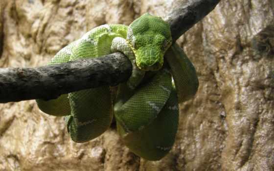 snake, branch, зелёная