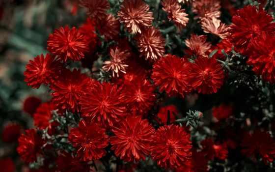 хризантемы, красивые, цветы
