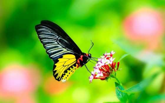 камеди, бабочка, клаб, макро, раша,