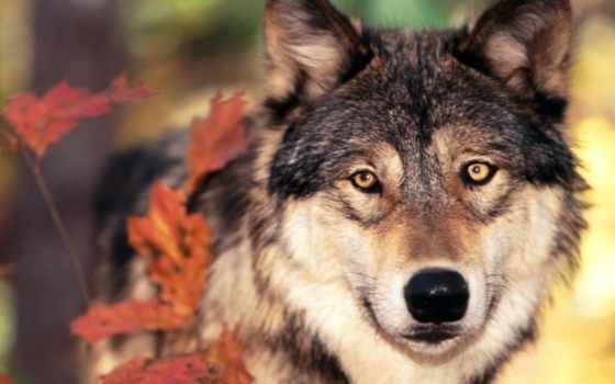 волк, волки, морда