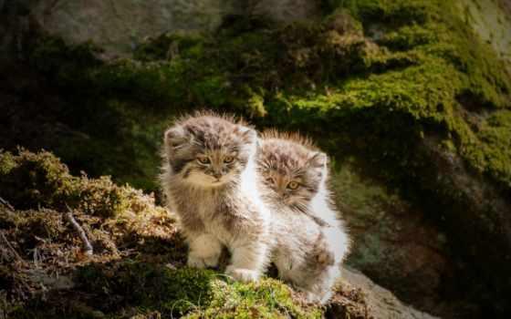 кот, манул, палласов, азия, центральный, семейства, cats, июня, кошачьих, домашней,