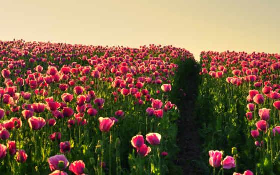 тюльпаны, маки, розовые, поле, cvety, гортензии, соцветия, страница,
