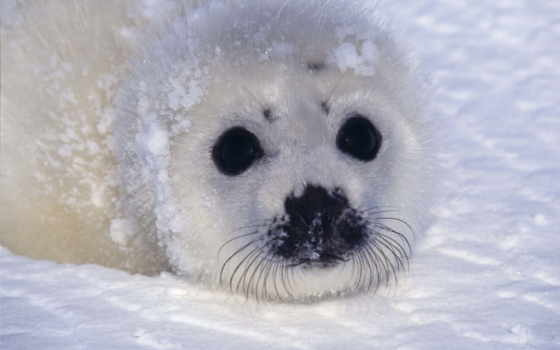 тюлень, cute, baby