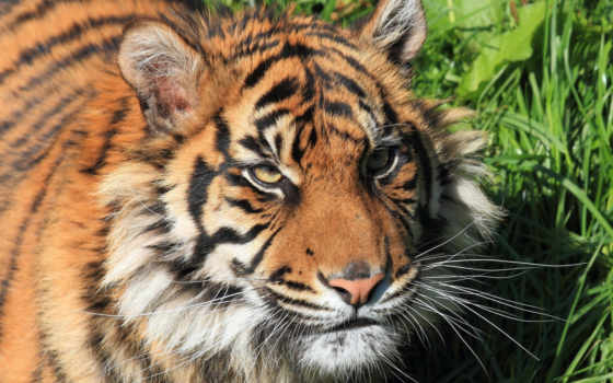 тигр, кот, морда
