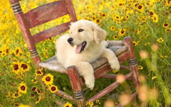 собака, собаки, щенок, поле, cvety, кресло, природа, love, люди,