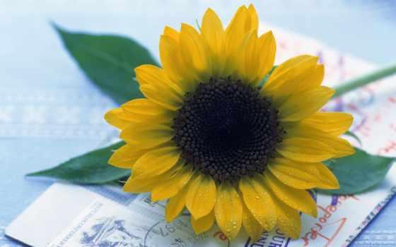цветы, подсолнух, cvety