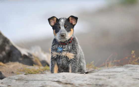 собака, фон, замок, экран, бультерьер, black, abyss, rate, комментарий, взгляд, toy