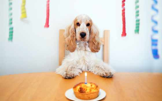 spaniel, собака, cocker, торт, щенок, birthday, фон, картинка