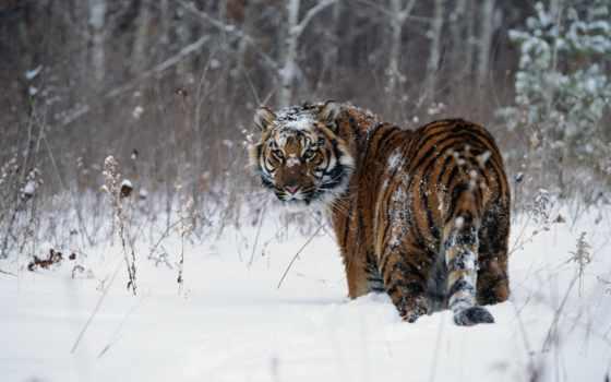 тигр, снег