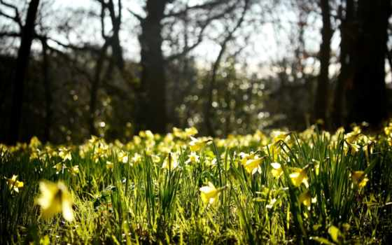 нарциссы, цветы, желтые