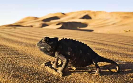 пустыни, zhivotnye, картинка, природа, iguana, reptile, песок, животных, пустыня, семейного, сахара,