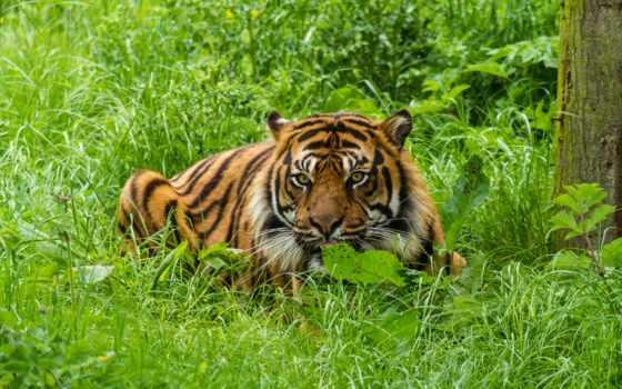 тигр, тигров, высокого