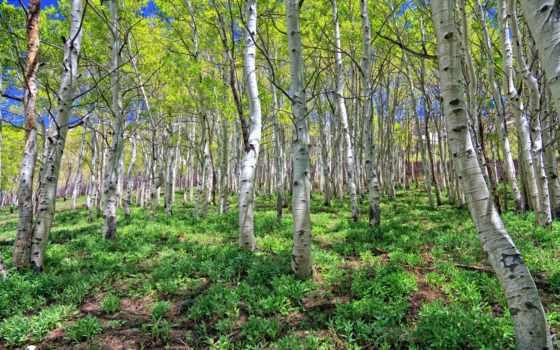 дерево, aspen, природа, trees, лес, осины, деревьев,