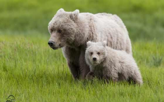 ursa, медведи, медвежонок, трава, детёныш, материнство,