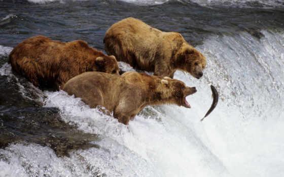 salmon, лосося, нерест