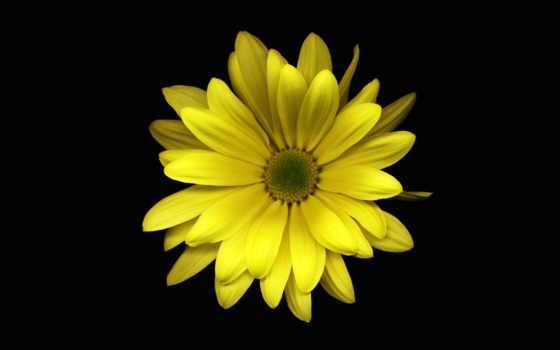черном, fone, цветы
