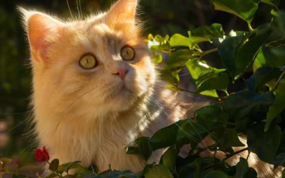 кошки, tapety, кот, весной, red, kot, pulpit,