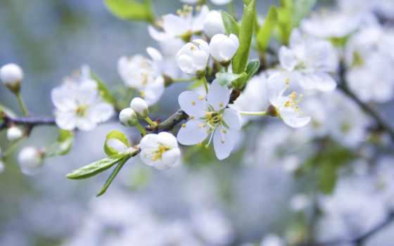 яблоня, цветение, весна