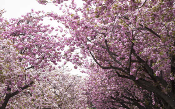 cherry, цветы, лепестки, Сакура, розовый, дерево