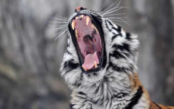 тигр, fang, пасть, кот, amur, зевок, морда, wild, хищник, язык