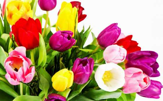 тюльпаны, red, white