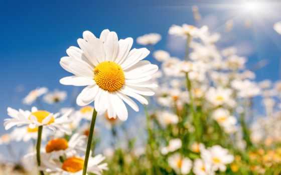 ромашки, цветы, полевые