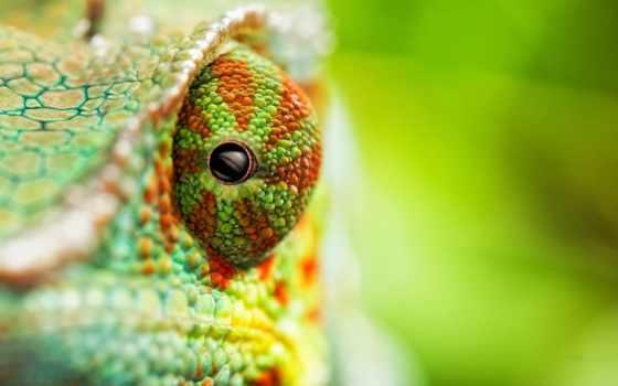 chameleon, chameleons, видов,
