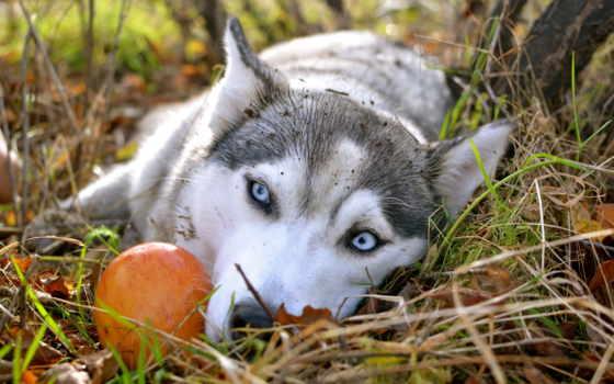 хаски, породы, собака, собаки, была, голубыми, собак, глазами, красивая, порода,