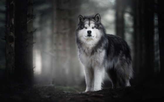 собака, malamute, alaskan, хаски, щенок, cute, порода, animal, пушистый